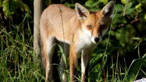 Priroda: Pronađena lisica sa impresivnom kolekcijom obuće u Nemačkoj