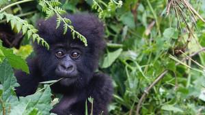 Korona virus: Veliki majmuni u izolaciji da se ne bi razboleli