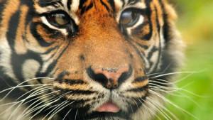 Životinje i veterina: Spaseno oko tigrice u pionirskoj operaciji na Kembridžu