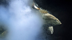 "Najbolje fotografije divljine za 2021: Prva nagrada za ""Eksplozivni seks"" riba"