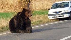 Rumunija i medvedi: Strah zbog smrtonosnog niza napada životinja