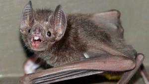 Nauka o životinjama: Zašto se šišmiši-vampiri ljube na francuski način