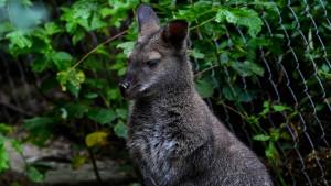 Misteriozni kengur u Austriji još uvek na slobodi