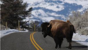Životinje, Amerika i lov: Više od 45.000 ljudi prijavilo se za odstrel bizona u Velikom kanjonu