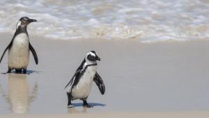 Pingvini u Južnoj Africi: Pčele pokosile ugroženu vrstu nastanjenu u blizni Kejptauna
