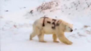 Polarni medved i Rusija: Životinja ispisana sprejom