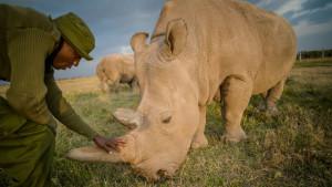 Severni beli nosorog: Spas vrste počiva na poslednje dve ženke
