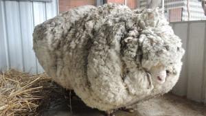 Merino ovan poznat po ogromnom runu uginuo u Australiji