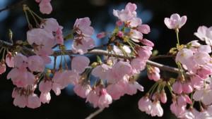 Trešnje u Japanu iznenada procvetale