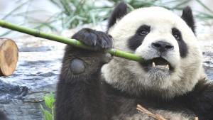Upozorenje naučnika: Bitka za spas pandi škodi drugim sisarima