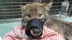 Estonija: Hteli da pomognu psu u zaleđenoj reci - izvukli vuka