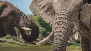 Smrt, životinje i Afrika: Otrovi iz plavozelenih algi krivi za pomor više od 300 slonova
