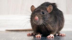 Korona virus: Zašto se tokom pandemije pacovi ponašaju agresivnije