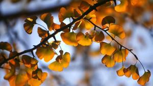 """Ginko: Otkrivene tajne """"hiljadugodišnjeg stabla"""""""