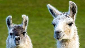 Korona virus, ljudi i životinje: Obećavajuća imunološka terapija u kojoj učestvuju lame
