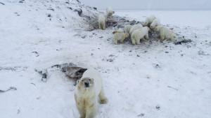 Rirkajpi: Selo na severu Rusije preplavljeno belim medvedima