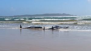 Australija: Skoro 200 mrtvih kitova nasukalo se u Tasmaniji