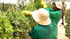 Marihuana, planine, i novac: kako Lesoto zarađuje za život
