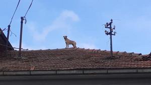 Životinje, Srbija i nezgode: Otkud pas na krovu kuće u selu blizu Zaječara