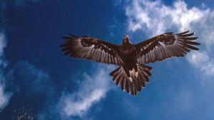 Muškarac u Australiji optužen za ubistvo 137 orlova