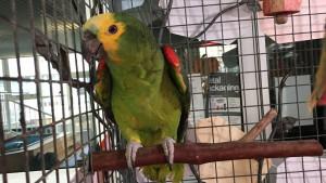 Papagaj u školi u Džersiju slavi 70. rođendan