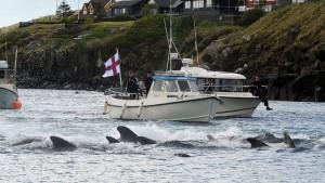 Farska Ostrva, tradicija i životinje: Ubijeno 1.400 delfina u danu, bes u svetu