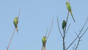 Indija: Papagaji zavisni od opijuma