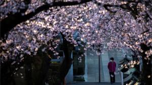 Korona virus i Japan: Kako pandemija utiče na cvetanje trešnje