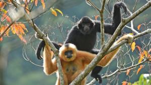 Priroda i ugrožene vrste: Tračak nade za spas najređeg primata na svetu