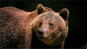 Poslednji divlji medvedi italijanskih Apenina