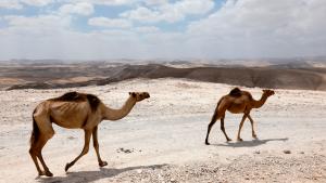 U Lebane stižu kamile - ali od stiropora