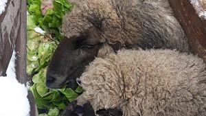 Korona virus: Zašto u Srbiji stoka jede hranu za ljude